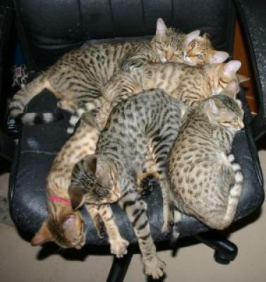 Bengal and Savannah Cats at Play